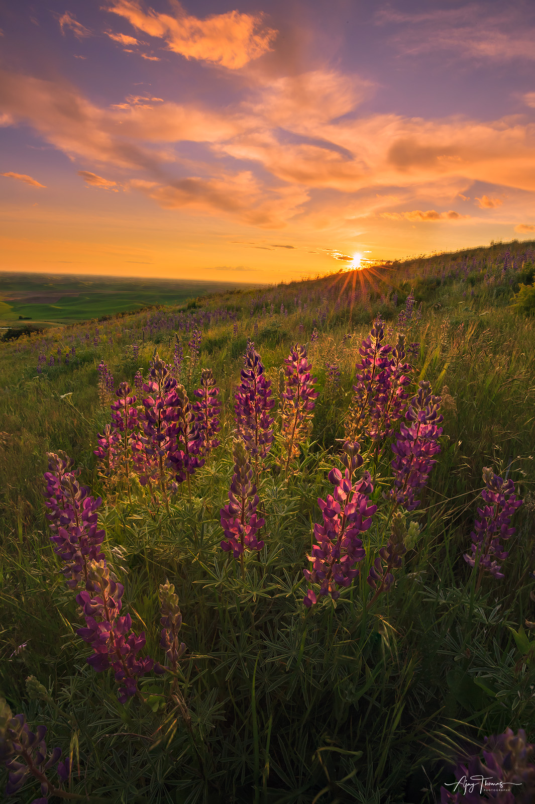 The Lupine Bloom at Steptoe Butte state park, Palouse, Washington, USA. Someone said that a beautiful thing is a source of joy...